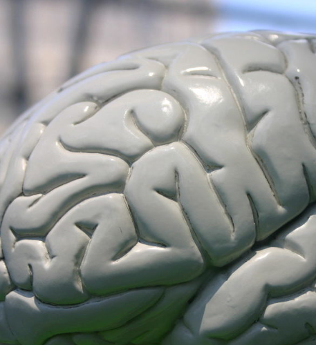 Photo of a brain's mock-up